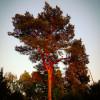 Baum von früher